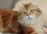 Othello leased Siberian breed cat