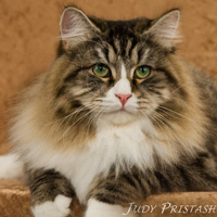 Siberian green eyed cat Misha, photo by Judy Pristash