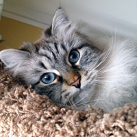 gorgeous blue eyed hypoallergenic Siberian cat