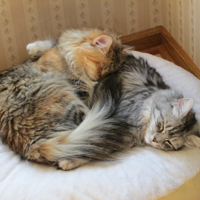 Siberians Charity and Maggie