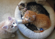three colored kittens
