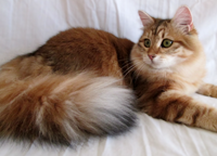 our Siberian breed cats