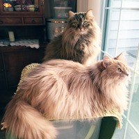 Siberians Phoebe and Phinehas